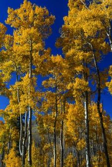 Colorado Fall Photography Workshop Aspens Gold